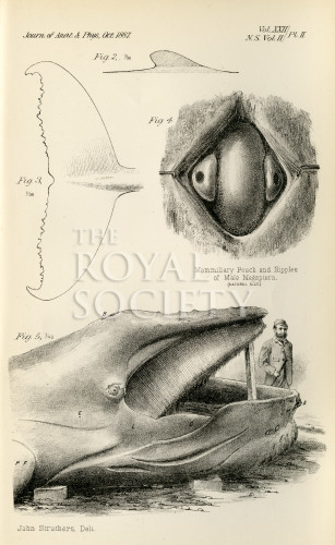 Humpback Whale Anatomy Royal Society Picture Library