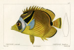 image cuvier g_histoire_poissons_plate 173