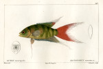 image cuvier g_histoire_poissons_plate 197