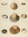 image mendes da costa, e_historia naturalis_1778_pl14