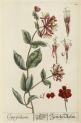 image blackwell, e_herbarium blackwellianium_1750_p25