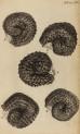 image hooke_r_micrographia_238