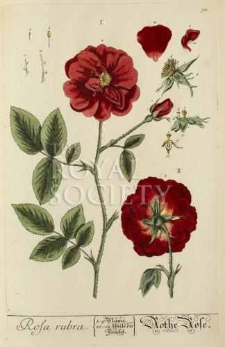 image blackwell, e_herbarium blackwellianium_1750_p78