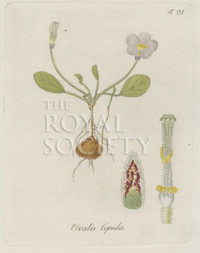 image jacquin_oxalis_plate 21