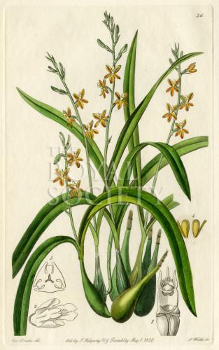 image lindley j_edwardss botanical register_v1_plate 26