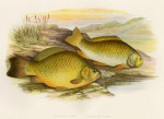 image houghton w_british fresh-water fishes_v1_1879_plate 5