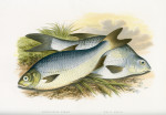 image houghton w_british fresh-water fishes_v1_1879_plate 15