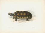 image bell, t_monograph of testudinata_1832_testudo tabulata