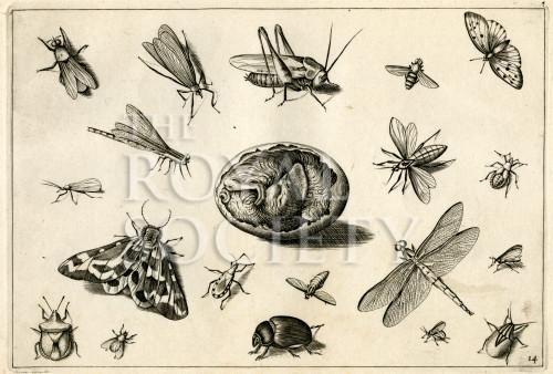 image hoefnagel d i_diversae insectarum_plate 14