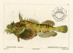 image cuvier g_histoire_poissons_plate 84