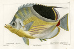 image cuvier g_histoire_poissons_plate 174