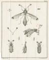 image Linnaeus, C_Amoenitates academicae_vol 8, 1785_tab 6