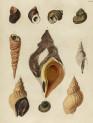 image mendes da costa, e_historia naturalis_1778_pl6