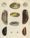 image mendes da costa, e_historia naturalis_1778_pl15