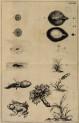 image swammerdam_j_1669_historia_insectorum_plate_12