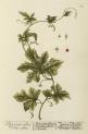 image blackwell, e_herbarium blackwellianium_1750_p37