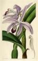 image lindley j_edwardss botanical register_v1_plate 2
