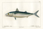 image cuvier g_histoire---poissons_plate 209