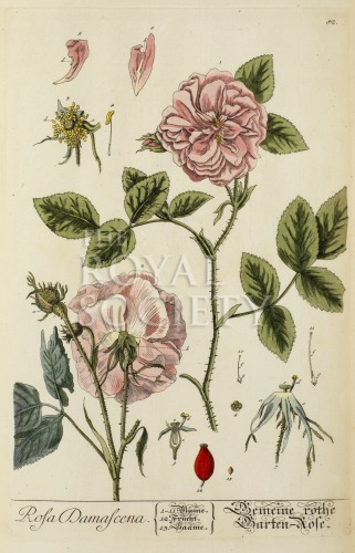 image blackwell, e_herbarium blackwellianium_1750_p82