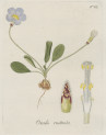 image jacquin_oxalis_plate 22