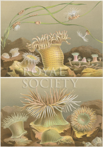 image a andres_le attinie_1884_plate 6