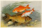 image houghton w_british fresh-water fishes_v1_1879_plate 6