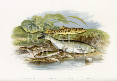 image houghton w_british fresh-water fishes_v1_1879_plate 16