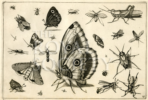 image hoefnagel d i_diversae insectarum_plate 15