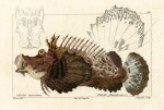 image cuvier g_histoire_poissons_plate 94