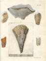 image mantell g_fossils_1822_plate 13