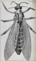 image hooke_micrographia_1665_schem xxix