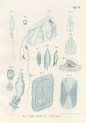image kolliker a_die schwimmpolypen_1853_plate 11