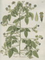 image jacquin_oxalis_plate 3