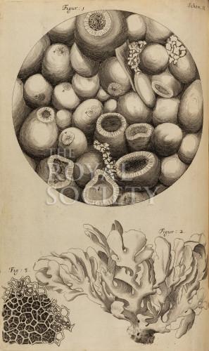 image hooke_r_micrographia_153