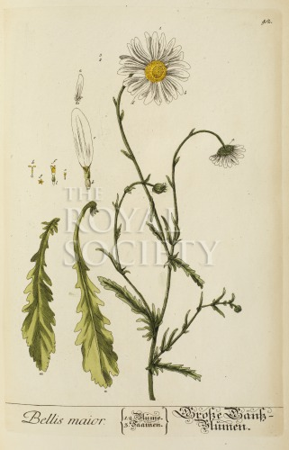 image blackwell, e_herbarium blackwellianium_1750_p42