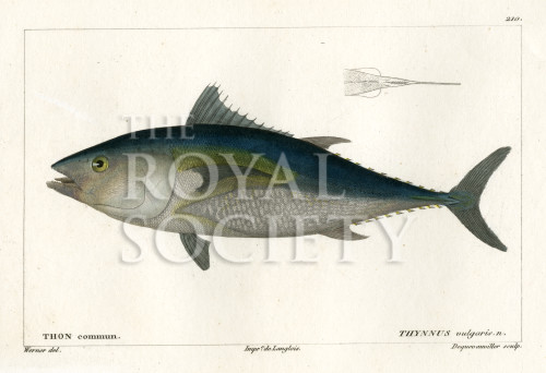 image cuvier g_histoire---poissons_plate 210