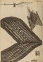 image hooke_r_micrographia_252