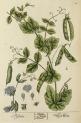 image blackwell, e_herbarium blackwellianium_1750_p83