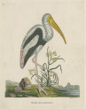 image pennant t_indian zoology_plate 11