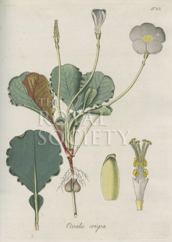 image jacquin_oxalis_plate 23