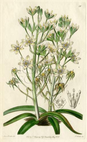 image lindley j_edwardss botanical register_v1_plate 28