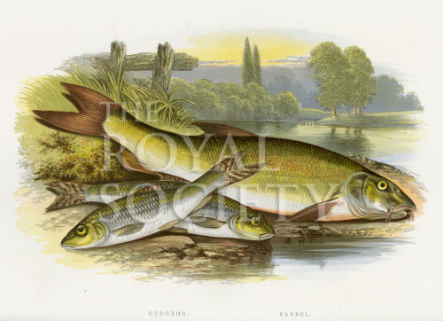 image houghton w_british fresh-water fishes_v1_1879_plate 7