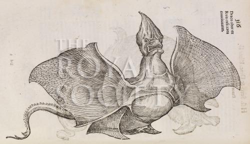 image aldrovandi, u_serpentum et draconum_1640_p316