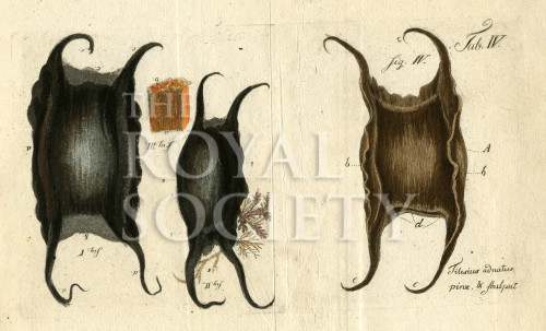 image tilesius w g_seemause_1802_plate 4