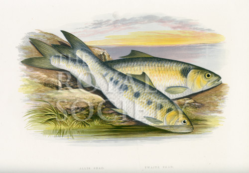 image houghton w_british fresh-water fishes_v1_1879_plate 17