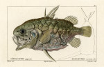 image cuvier g_histoire_poissons_plate 97