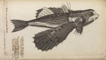 image willughby, f_historia piscium_1686_flying fish_tabs6