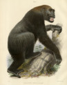 image owen r_memoir on the gorilla_1865_plate 1