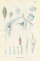 image kolliker a_die schwimmpolypen_1853_plate 2