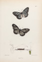 image moore,f_lepidopetera_of_ceylon_pl2_crop